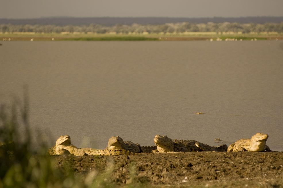 Crocodiles on Lake Urema in Gorongosa National Park