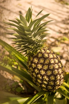 Pineapple in a Malagasy village garden.