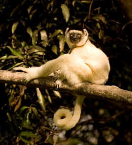 Verreaux's sifaka or dancing lemur near Fort Dauphin.