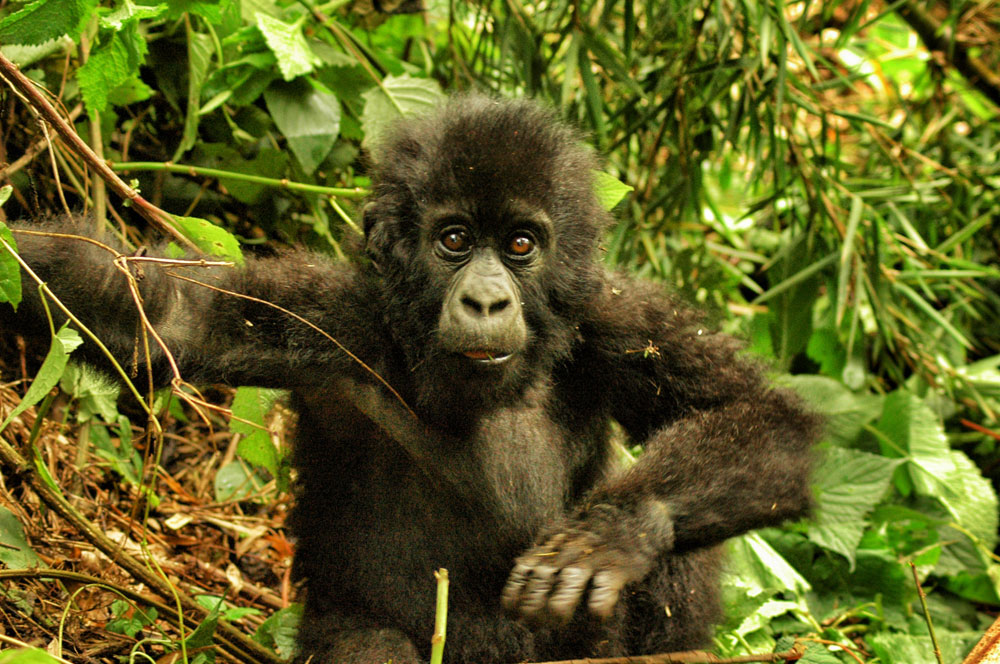 If meeting mountain gorillas isn't on your bucket list for some reason, put it there now.