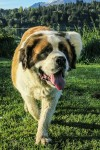 Sasha, the soppy St Bernard and my best friend in Bariloche