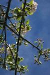 Spring blossoms in Bariloche