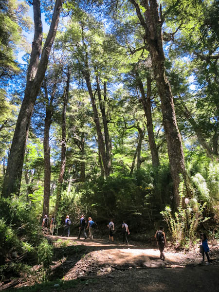 Forest in Nahuel Huapi