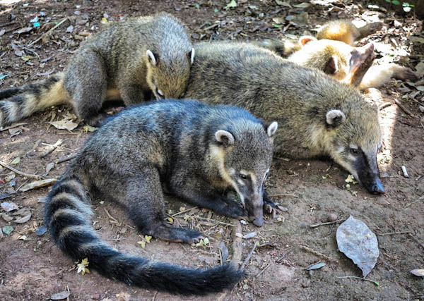 Coatis. Not aardvarks and not as cute as they look.